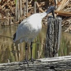 Threskiornis molucca at Jerrabomberra Wetlands - 6 Mar 2018