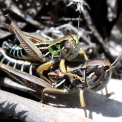 Kosciuscola cognatus (A grasshopper) at Namadgi National Park - 5 Mar 2018 by JudithRoach