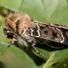 Proteuxoa sanguinipuncta (A Noctuid Moth) at Higgins, ACT - 5 Mar 2018 by Alison Milton