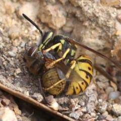 Vespula germanica (European wasp) at Coree, ACT - 6 Mar 2018 by JudithRoach