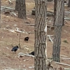 Corcorax melanorhamphos (White-winged Chough) at Isaacs Ridge and Nearby - 7 Mar 2018 by Mike