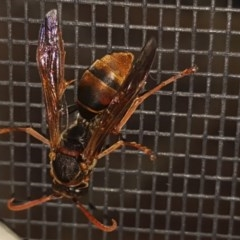 Polistes (Polistella) humilis (Common Paper Wasp) at Isaacs, ACT - 7 Mar 2018 by Mike