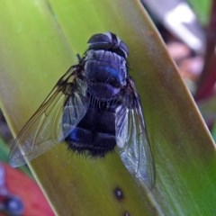 Rutilia sp. (genus) (A Rutilia bristle fly, subgenus unknown) at ANBG - 7 Mar 2018 by RodDeb