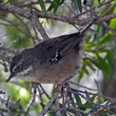 Sericornis frontalis (White-browed Scrubwren) at ANBG - 7 Mar 2018 by RodDeb