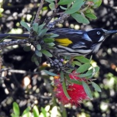 Phylidonyris novaehollandiae (New Holland Honeyeater) at ANBG - 8 Mar 2018 by RodDeb