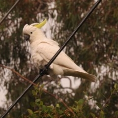 Cacatua galerita (Sulphur-crested Cockatoo) at Fadden, ACT - 27 Feb 2018 by YumiCallaway