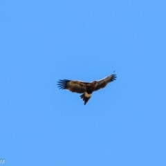 Aquila audax (Wedge-tailed Eagle) at Booth, ACT - 7 Mar 2018 by ajc
