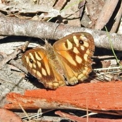 Geitoneura klugii (Marbled Xenica) at Gibraltar Pines - 9 Mar 2018 by RodDeb
