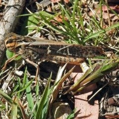 Gastrimargus musicus (Yellow-winged Locust or Grasshopper) at Gibraltar Pines - 9 Mar 2018 by RodDeb
