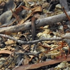 Lampropholis delicata (Delicate Skink) at Gibraltar Pines - 9 Mar 2018 by RodDeb