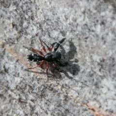 Apricia jovialis (Jovial jumping spider) at Namadgi National Park - 7 Feb 2018 by SWishart