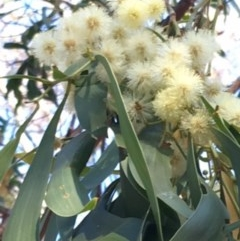 Acacia implexa (Hickory Wattle) at Red Hill Nature Reserve - 17 Mar 2018 by KL