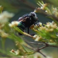 Rutilia sp. (genus) (A Rutilia bristle fly, subgenus unknown) at Aranda, ACT - 2 Feb 2008 by KMcCue