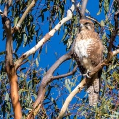 Falco berigora (Brown Falcon) at Namadgi National Park - 7 Mar 2018 by ajc