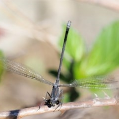 Austroargiolestes icteromelas (Common Flatwing) at Paddys River, ACT - 9 Mar 2018 by KenT