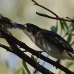 Cracticus torquatus (Grey Butcherbird) at Aranda, ACT - 15 Apr 2008 by KMcCue