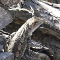 Amphibolurus muricatus (Jacky Lizard) at Jerrabomberra, ACT - 11 Mar 2018 by Mike