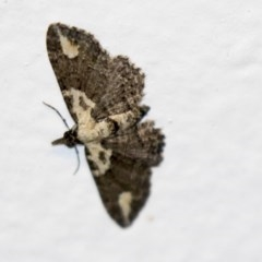 Chloroclystis testulata (Pome Looper Moth) at Higgins, ACT - 5 Mar 2018 by Alison Milton
