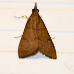 Uresiphita ornithopteralis (Tree Lucerne Moth) at Higgins, ACT - 5 Mar 2018 by Alison Milton
