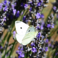 Pieris rapae (Cabbage White) at Hughes, ACT - 24 Dec 2012 by ruthkerruish