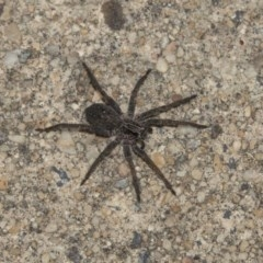 Lycosidae sp. (family) (Unidentified wolf spider) at Higgins, ACT - 12 Mar 2018 by AlisonMilton
