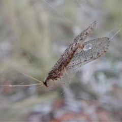 Hemerobiidae sp. (family) (Unidentified brown lacewing) at Mount Painter - 12 Mar 2018 by CathB
