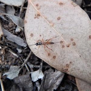 Gotra sp. (genus) at Aranda Bushland - 13 Mar 2018