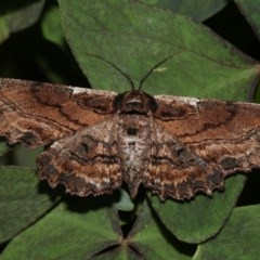 Pholodes sinistraria (Sinister Moth, Frilled Bark Moth) at Higgins, ACT - 13 Mar 2018 by AlisonMilton