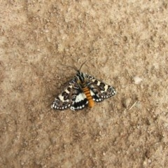 Apina callisto (Pasture Day Moth) at Higgins, ACT - 13 Apr 2008 by Alison Milton