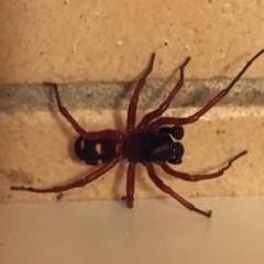 ZODARIIDAE (Unidentified ant spider) at Wolumla, NSW - 13 Mar 2018 by PatriciaDaly