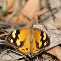 Heteronympha merope (Common Brown) at ANBG - 22 Feb 2018 by Alison Milton