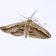 Euphronarcha luxaria (Striated Bark Moth) at Higgins, ACT - 20 Jan 2018 by Alison Milton
