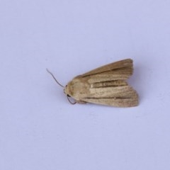 Leucania diatrecta (A Noctuid moth) at Higgins, ACT - 20 Jan 2018 by Alison Milton