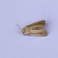 Leucania diatrecta (A Noctuid moth) at Higgins, ACT - 20 Jan 2018 by Alison Milton