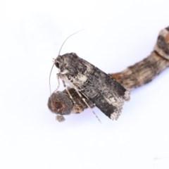 Agrotis porphyricollis (Variable Cutworm) at Higgins, ACT - 20 Jan 2018 by Alison Milton