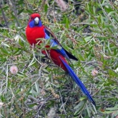 Platycercus elegans (Crimson Rosella) at ANBG - 12 Mar 2018 by RodDeb