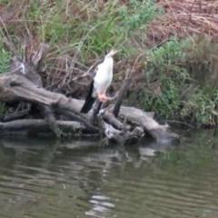 Anhinga novaehollandiae (Australasian Darter) at Molonglo River Park - 13 Mar 2018 by RodDeb