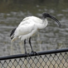 Threskiornis molucca (Australian White Ibis) at National Zoo and Aquarium - 13 Mar 2018 by RodDeb