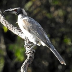 Philemon corniculatus (Noisy Friarbird) at Macarthur, ACT - 14 Mar 2018 by RodDeb