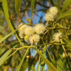 Acacia implexa (Hickory Wattle) at Griffith Woodland - 14 Mar 2018 by ianandlibby1