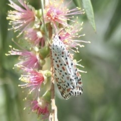 Utetheisa pulchelloides (Heliotrope Moth) at Higgins, ACT - 20 Jan 2008 by Alison Milton