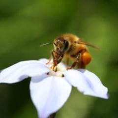 Apis mellifera (European honey bee) at Higgins, ACT - 7 Sep 2008 by Alison Milton