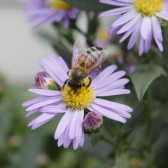 Apis mellifera (European honey bee) at Higgins, ACT - 21 Mar 2010 by Alison Milton