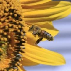 Apis mellifera (European honey bee) at Higgins, ACT - 29 Jan 2012 by Alison Milton