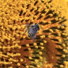Afranthidium (Immanthidium) repetitum (African carder bee, Megachild bee) at Higgins, ACT - 29 Jan 2012 by Alison Milton