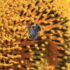 Afranthidium (Immanthidium) repetitum (African carder bee, Megachild bee) at Higgins, ACT - 29 Jan 2012 by Alison Milton