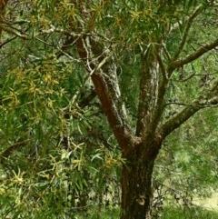 Acacia maidenii at Brogo, NSW - 14 Mar 2018