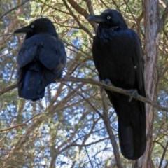 Corvus coronoides (Australian Raven) at ANBG - 15 Mar 2018 by RodDeb
