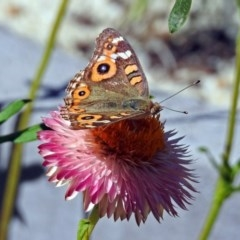 Junonia villida (Meadow Argus) at ANBG - 15 Mar 2018 by RodDeb