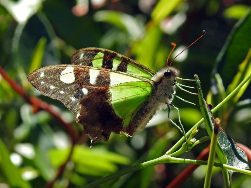 Graphium macleayanum at Canberra Central, ACT - 15 Mar 2018